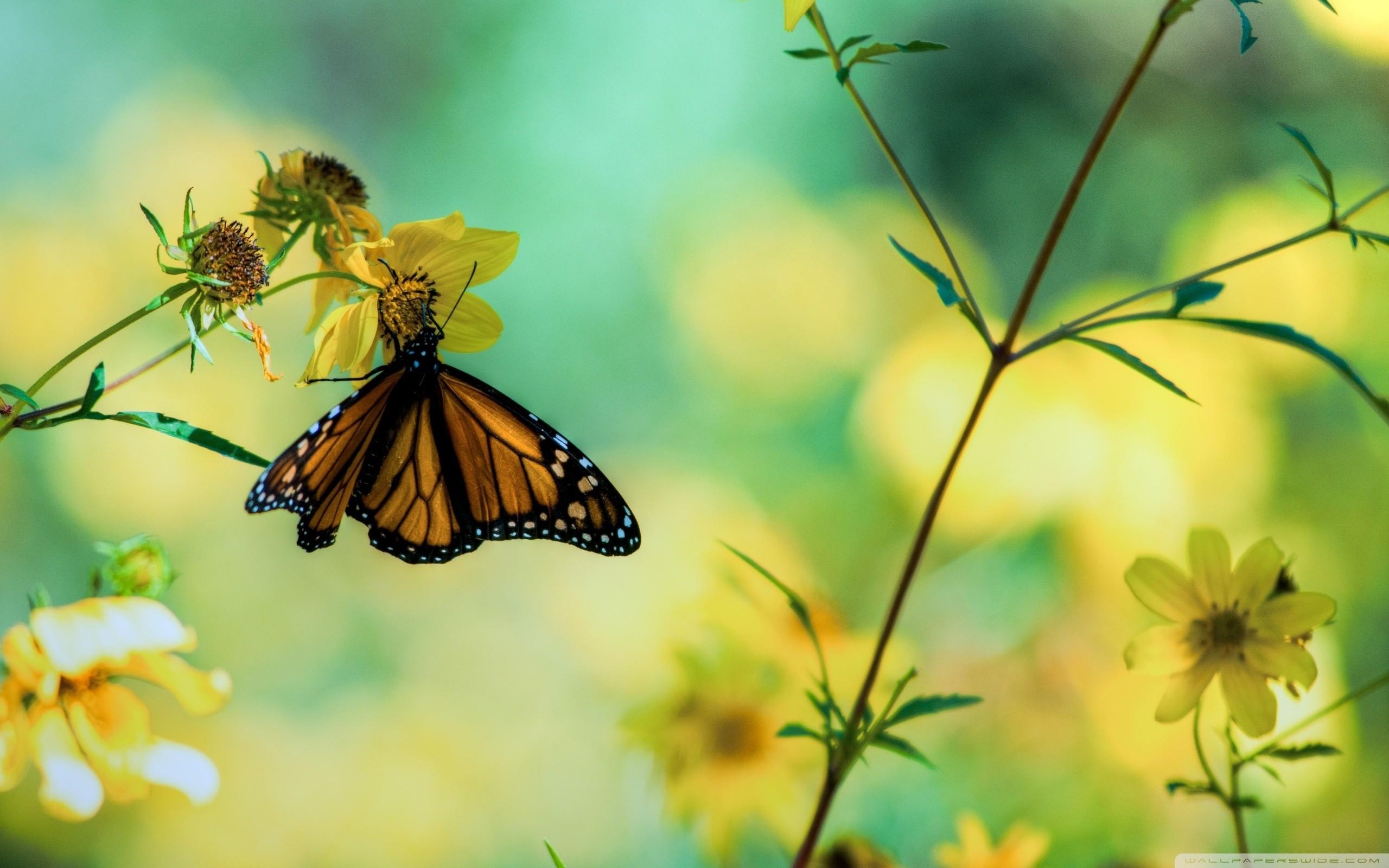 Top Sfondi Farfalle (62+ immagini) HN05