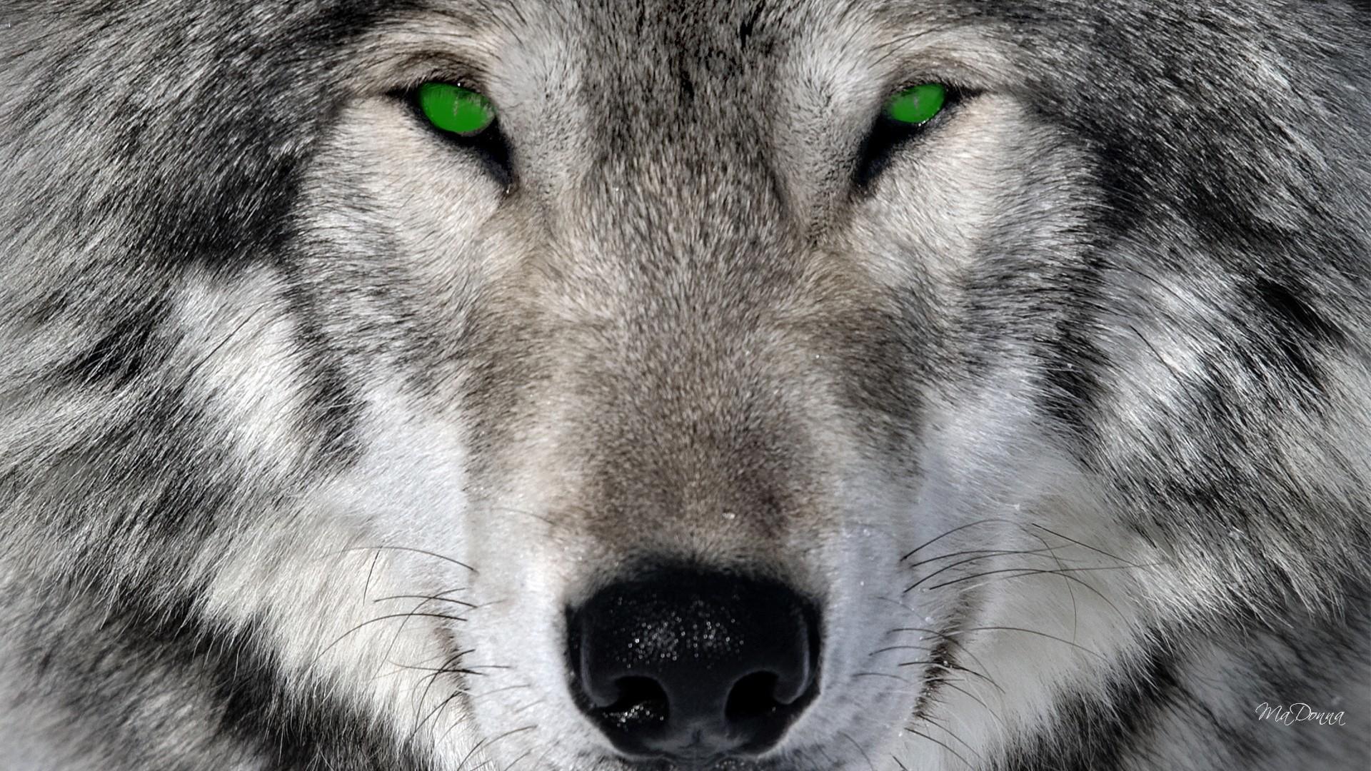 Sfondi lupi 61 immagini for Sfondi animali hd