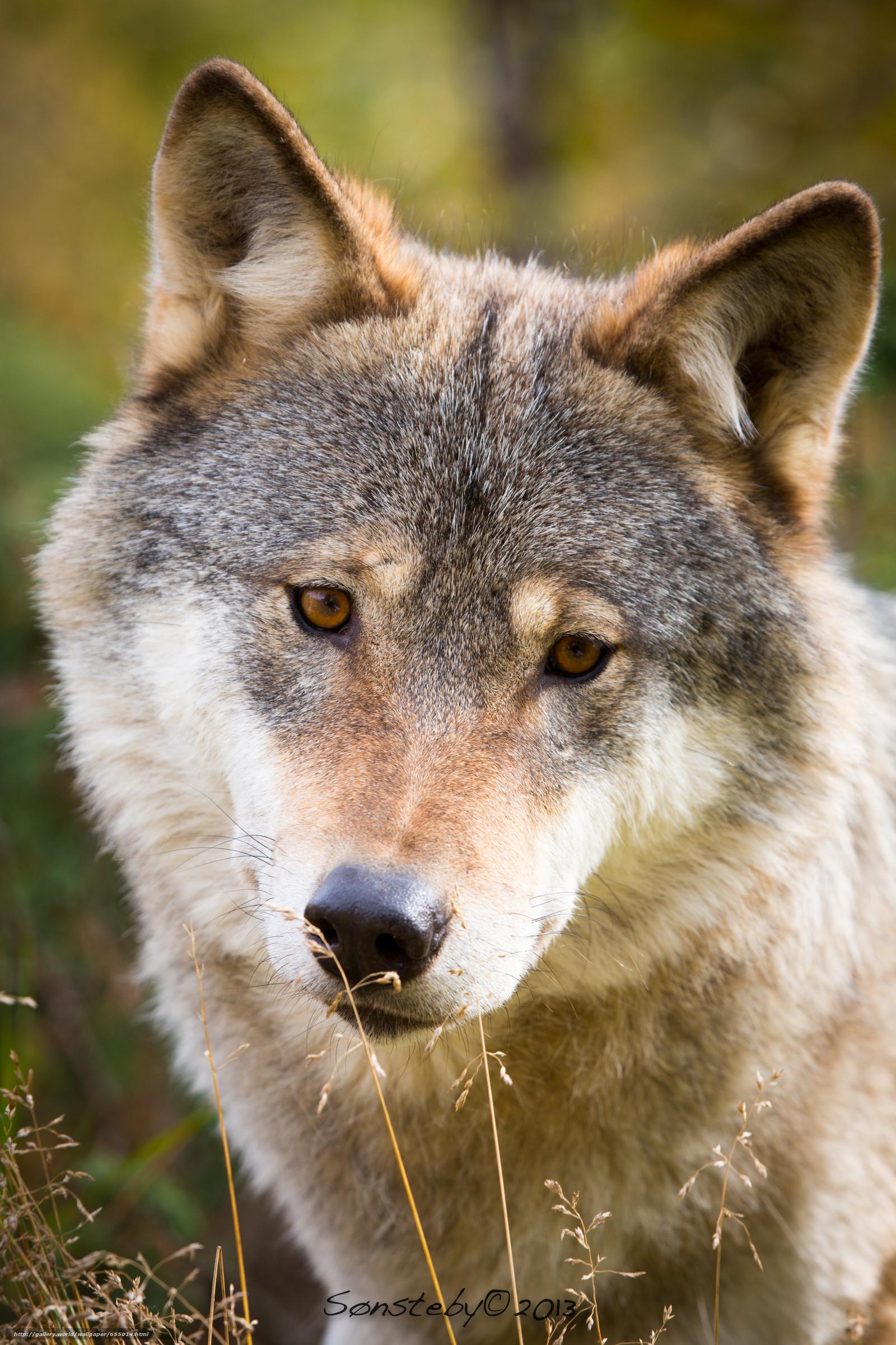 Sfondi lupo 54 immagini for Sfondi desktop animali