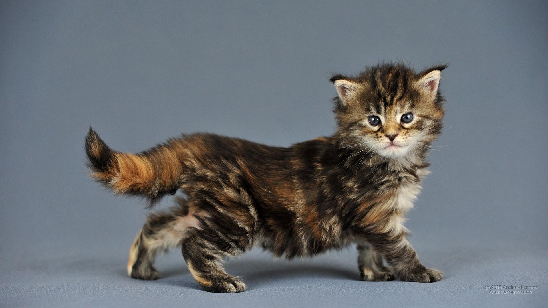 Gattini sfondi 73 immagini for Sfondi gatti gratis