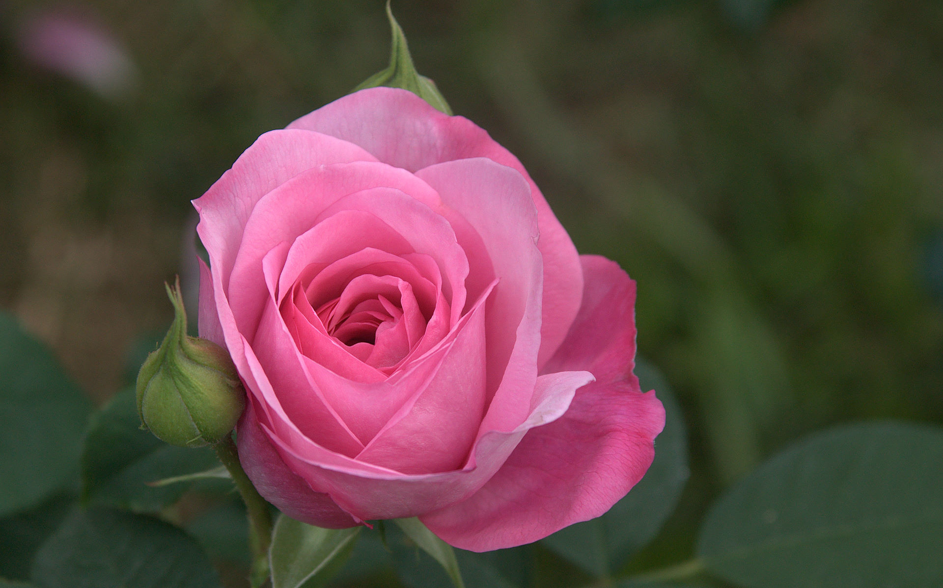 rose lembayung muda foto gratis di pixabay foto cantik
