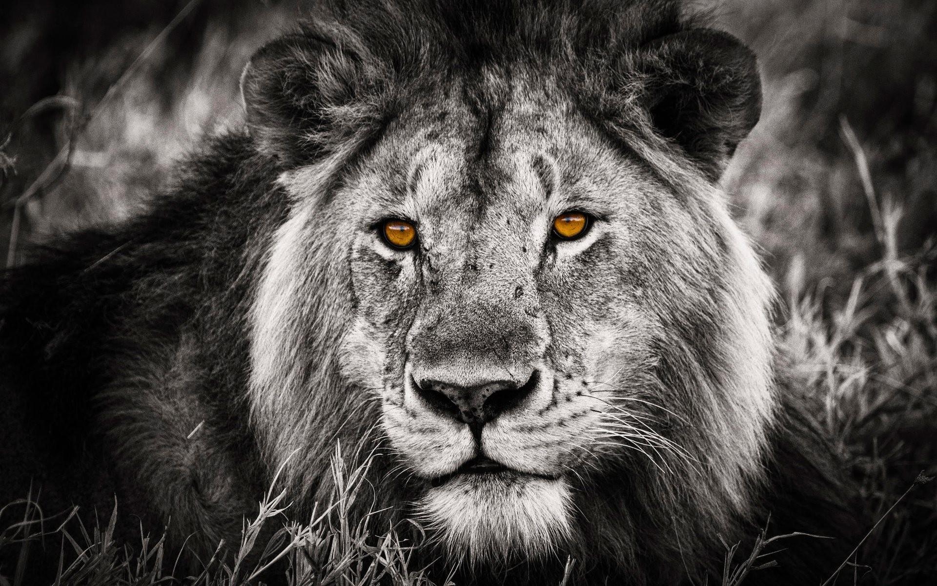 Sfondi leone 57 immagini for Immagini leone hd
