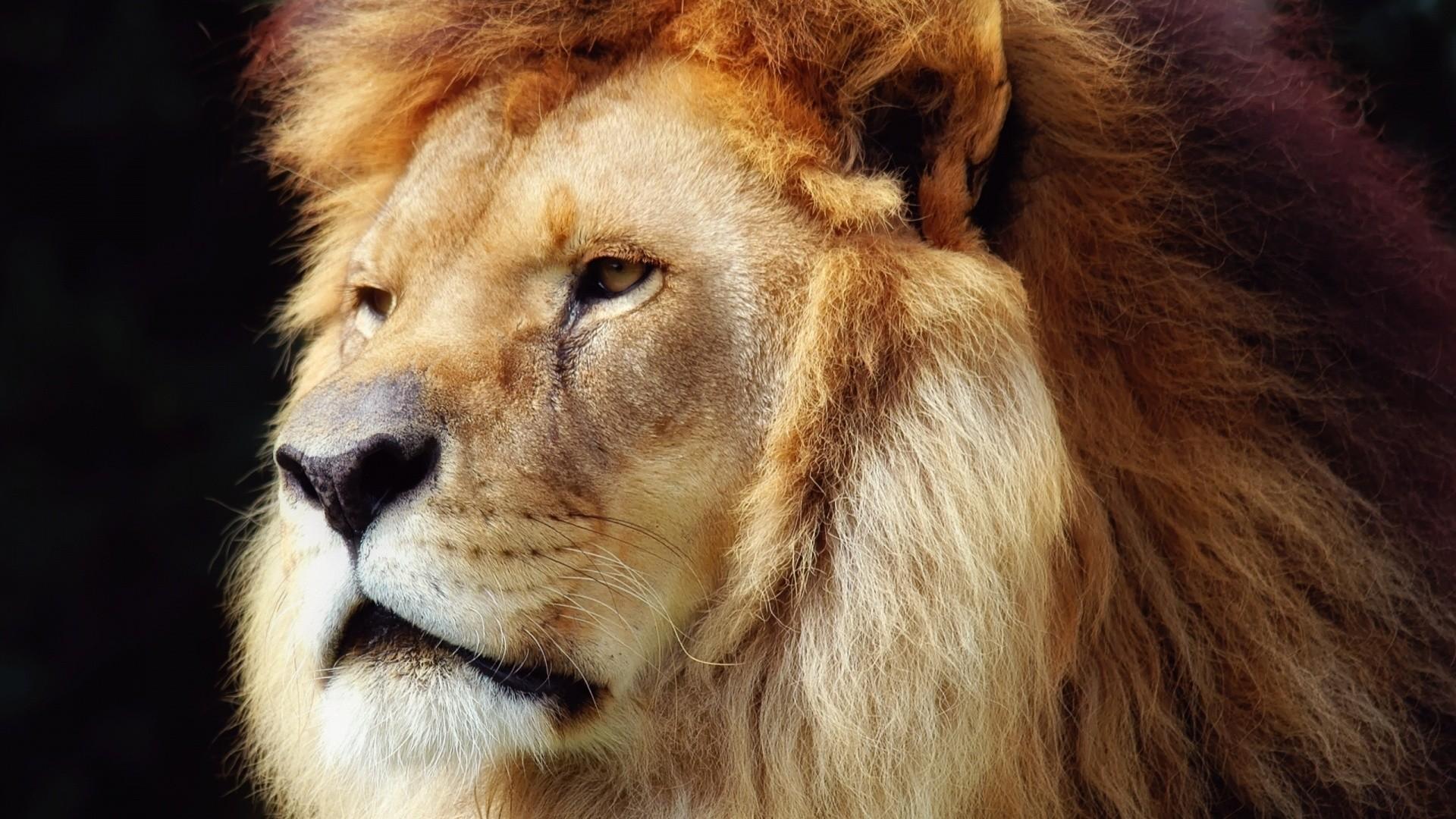 Sfondi leone 57 immagini for Sfondi leone