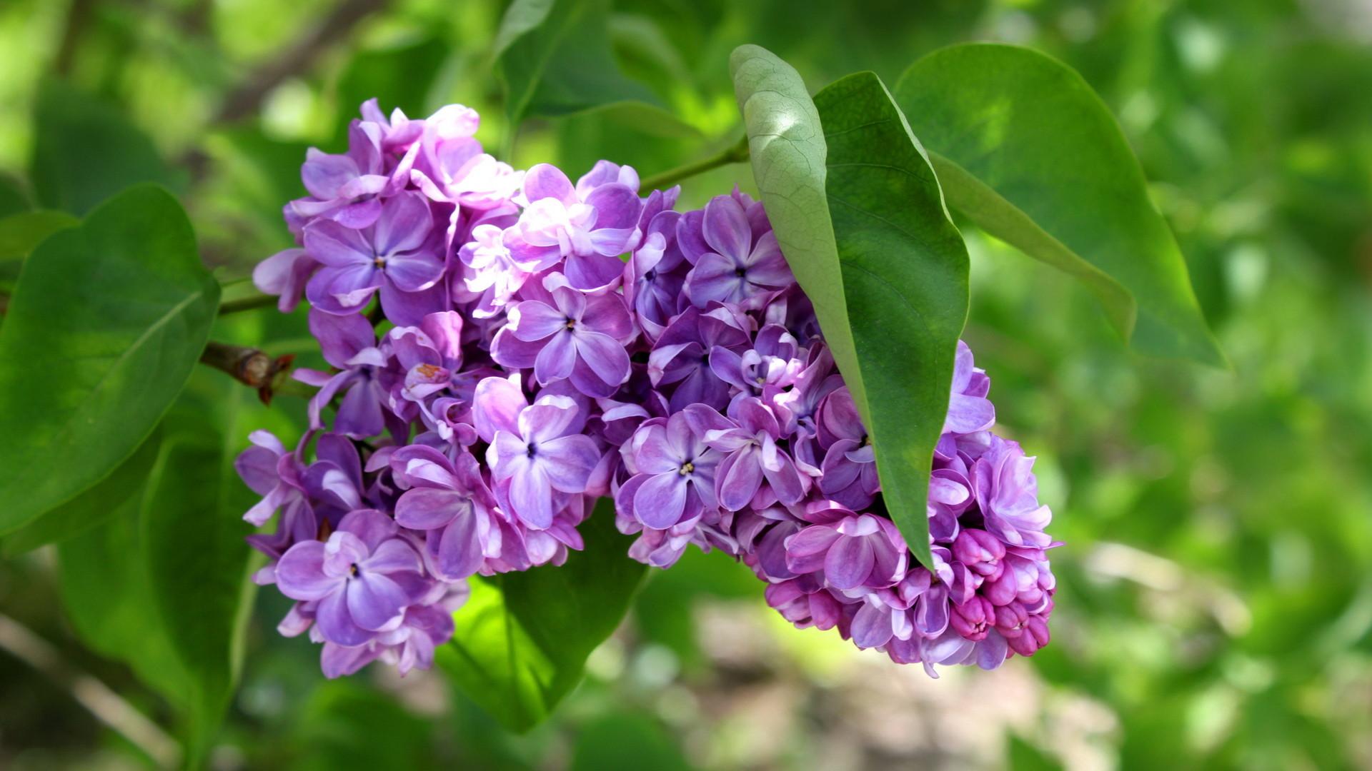 Sfondi fiori hd 71 immagini for Sfondi hd viola
