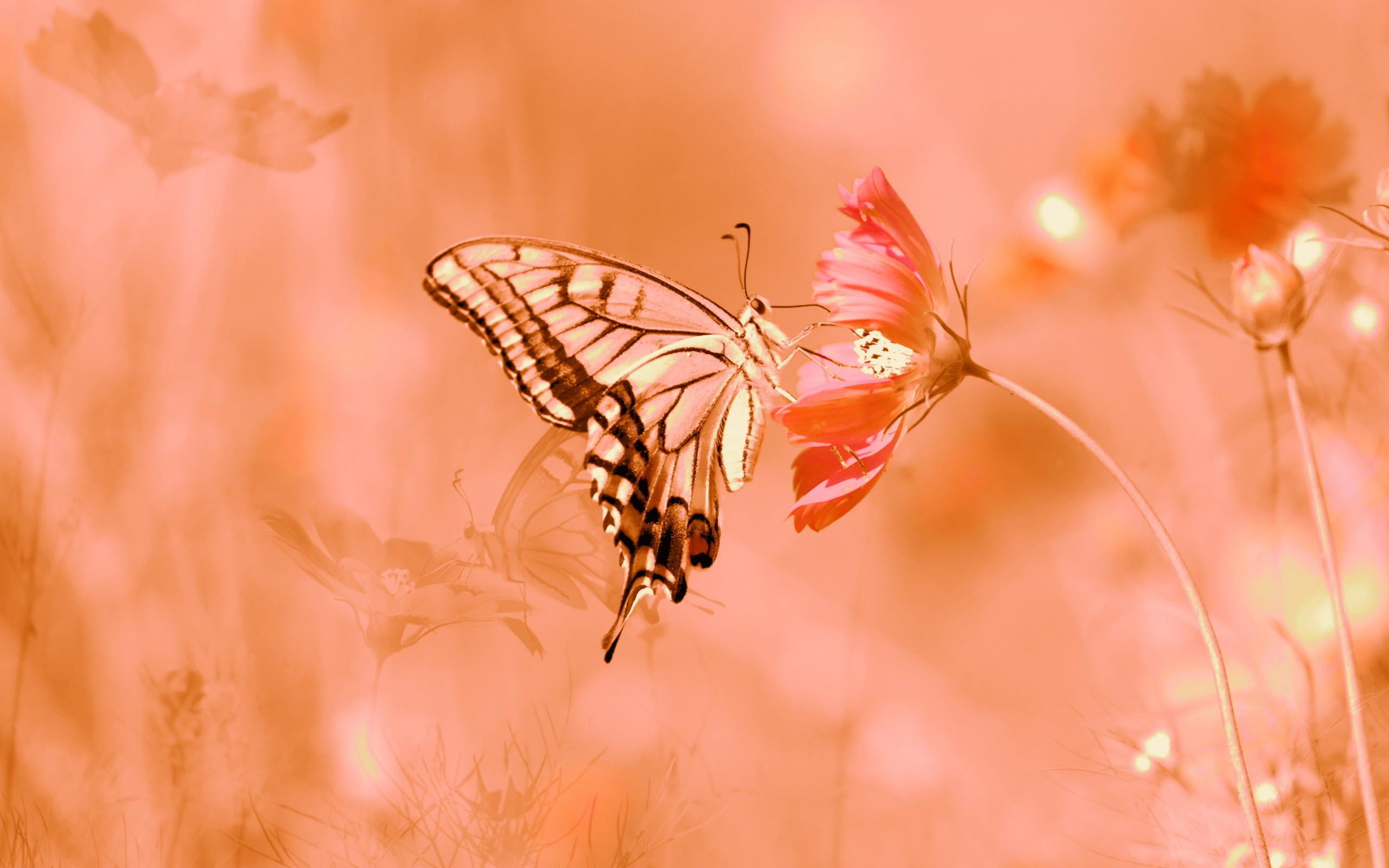 Sfondi farfalle 62 immagini for Immagini farfalle per desktop
