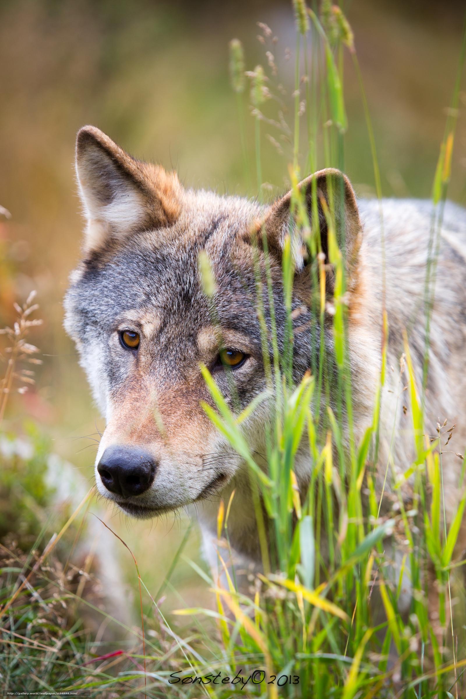 Sfondi lupo 54 immagini for Animali desktop