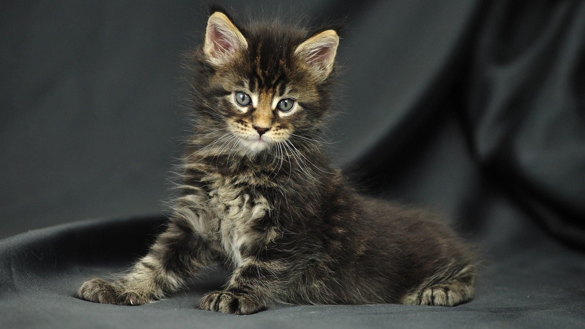 Sfondi gatti 61 immagini for Sfondi desktop animali
