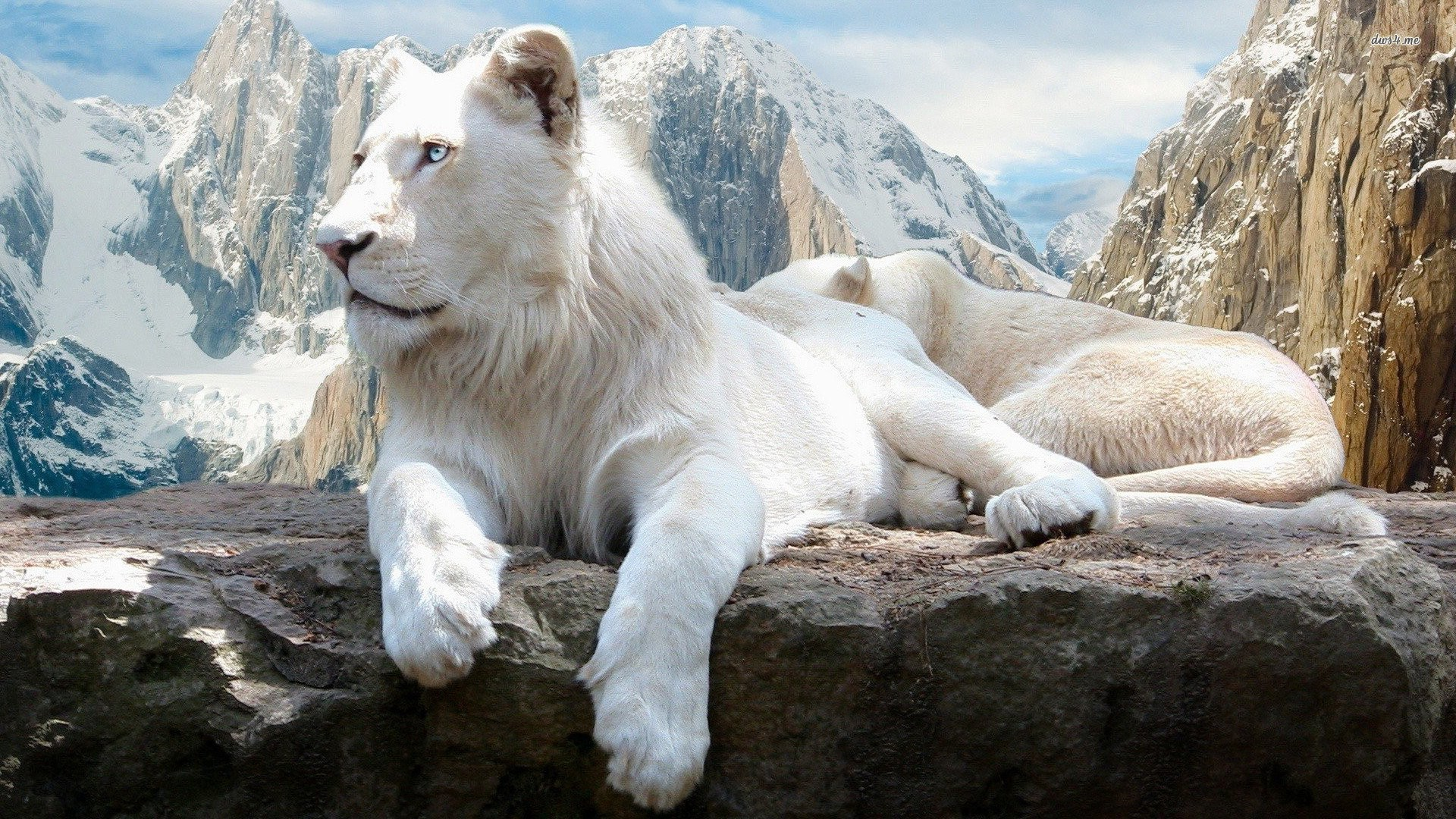 2048x2048 White Lion Ipad Air Hd 4k Wallpapers Images: Lion Wallpaper (65+ Immagini