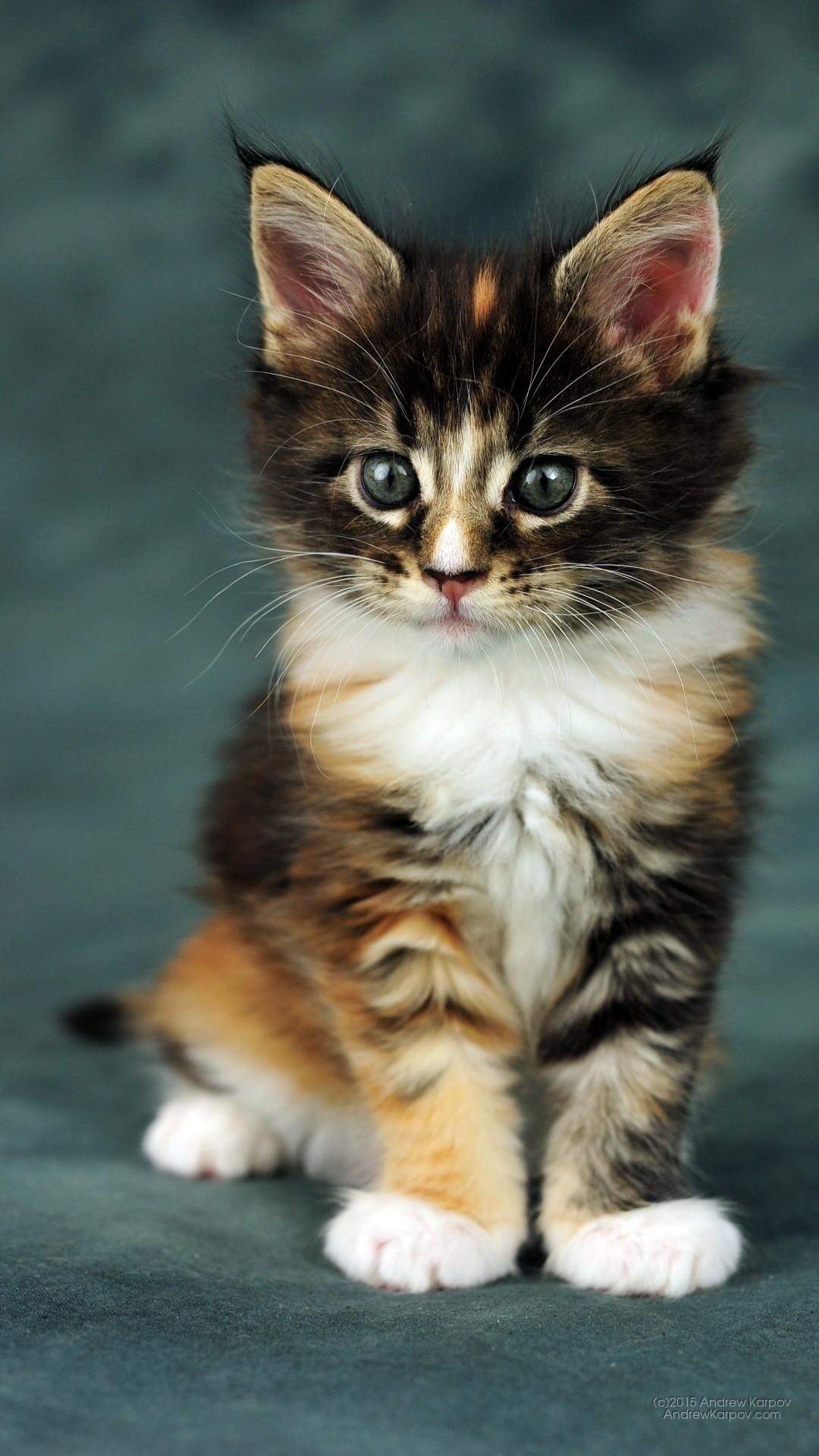 Gattini sfondi 73 immagini for I gattini piccoli