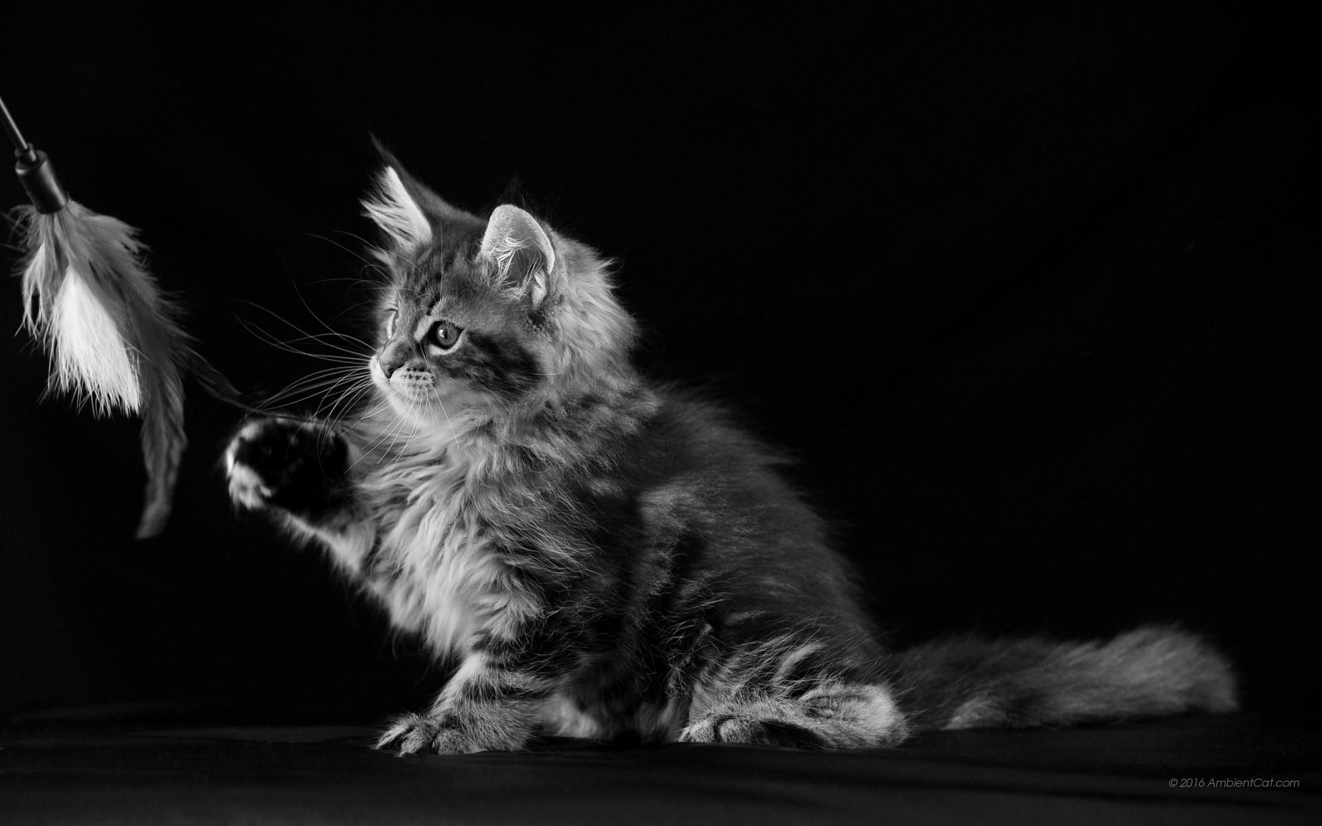 sfondi gatti 61 immagini